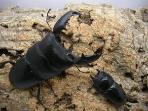 オオヒラタ スマトラ
