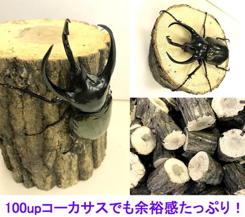 NEW■極太堅くち木 バラ