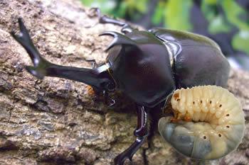イベントセット/国産カブトムシ幼虫50