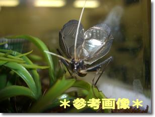 鈴虫の成虫5ペア