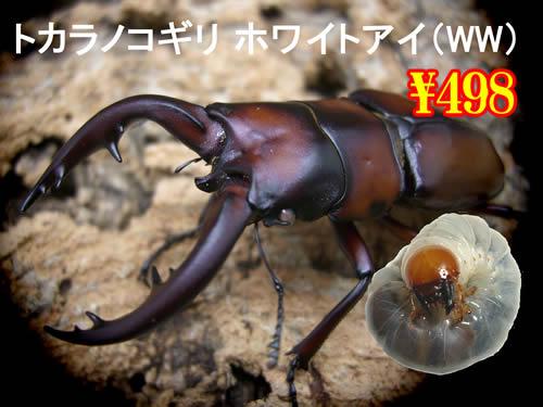 4月選抜品■離島 トカラノコホワイトアイ幼虫(3頭まで