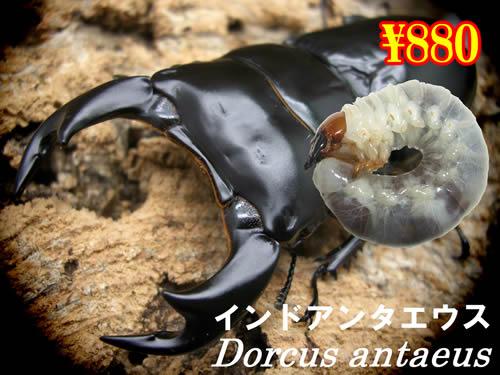3月選抜品■インドアンタエウス幼虫(3頭まで