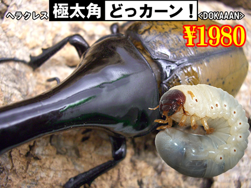 特選虫の市■SUPER個体【どっカーン】幼虫(3頭まで
