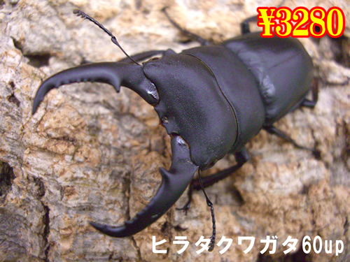特選虫の市■本土ヒラタ60up成虫ペア(1ペアまで