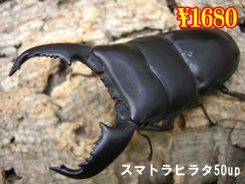 特選虫の市■スマトラヒラタ50up成虫ペア(1ペアまで
