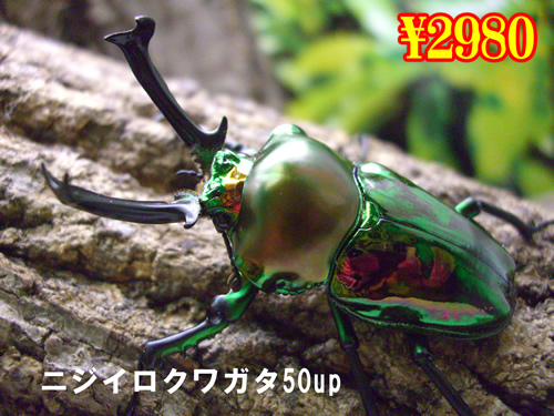 1月選抜品■ニジイロクワガタ50up成虫ペア(1ペアまで
