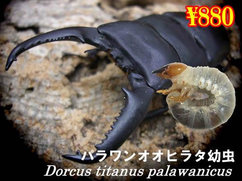 5月選抜品■パラワンオオヒラタ幼虫(5頭まで