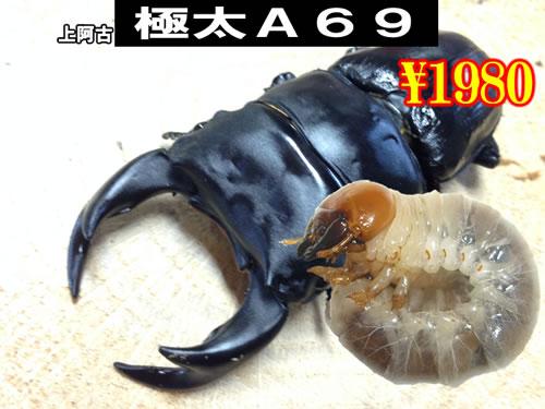 11月選抜品■SUPER個体【極太A69】血統幼虫(3頭まで