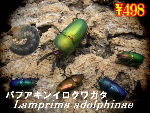 特選虫の市■パプアキンイロクワガタ幼虫(3頭まで