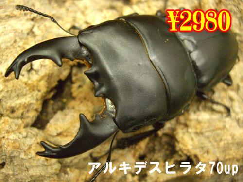 4月選抜品■アルキデスヒラタ70up成虫ペア(1ペアまで
