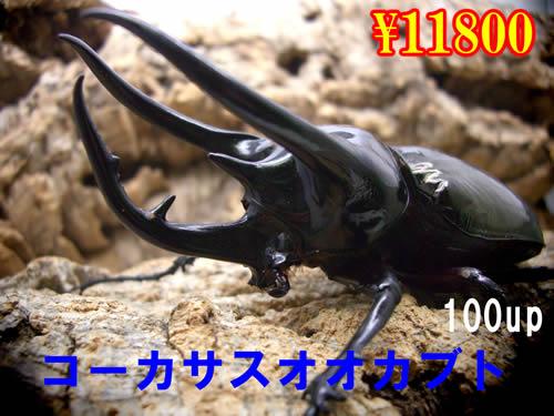 特選虫の市■コーカサスオオカブト100up成虫ペア(1ペアまで