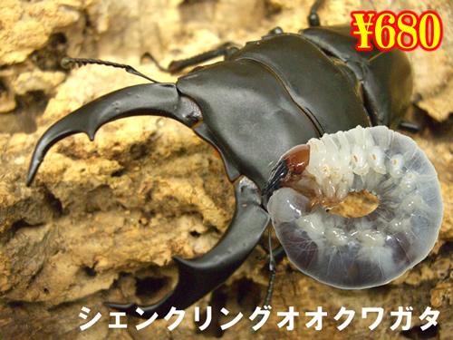 2月選抜品■シェンクリングオオクワガタ幼虫(5頭まで