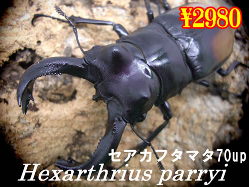 特選虫の市■セアカフタマタ70up成虫ペア(1ペアまで