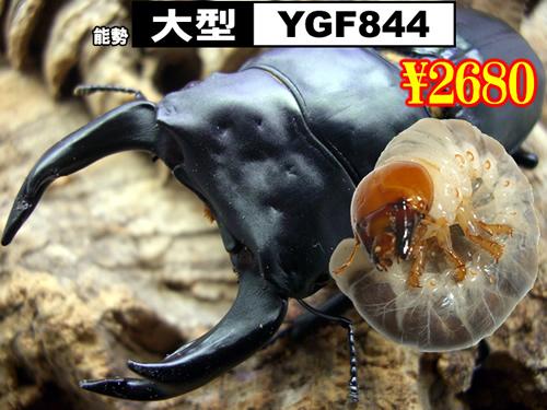 6月選抜品■SUPER個体【YGF844】血統幼虫(3頭まで