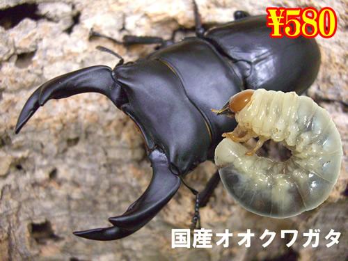 特選虫の市■国産オオクワガ幼虫(産地未特定)(3頭まで