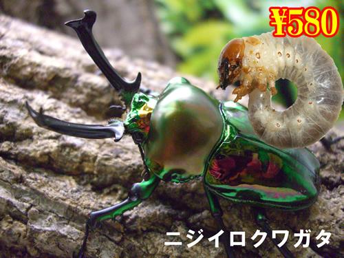 1月選抜品■ニジイロクワガタ幼虫(3頭まで