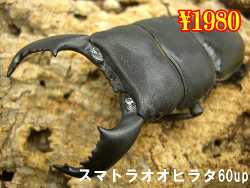 特選虫の市■スマトラヒラタ60up成虫ペア(1ペアまで