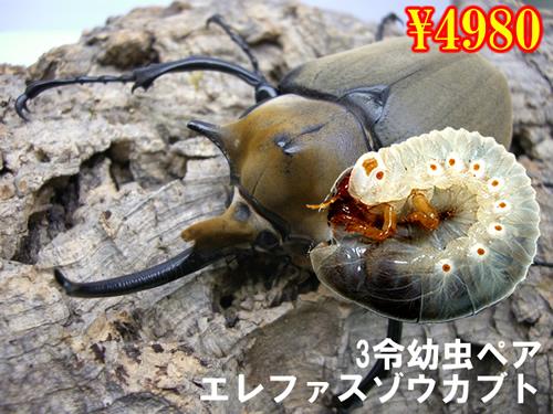 特選虫の市■エレファスゾウカブト3令幼虫ペア(1ペアまで