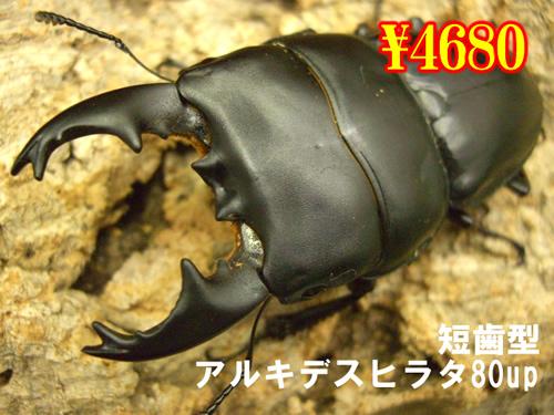 特選虫の市■短歯型アルキデスヒラタ80up成虫ペア(1ペアまで