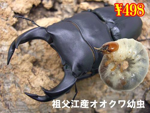 12月選抜品■祖父江産オオクワガタ幼虫(3頭まで