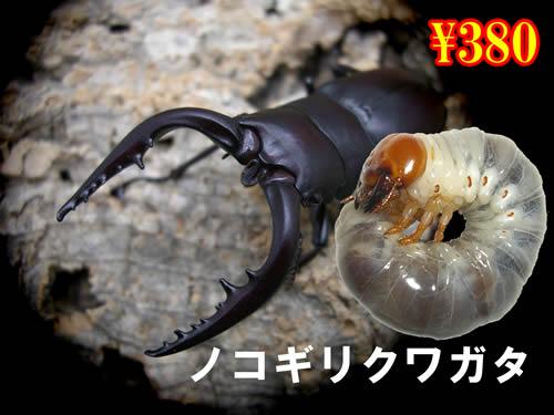 11月選抜品■国産ノコギリクワガタ幼虫(3頭まで