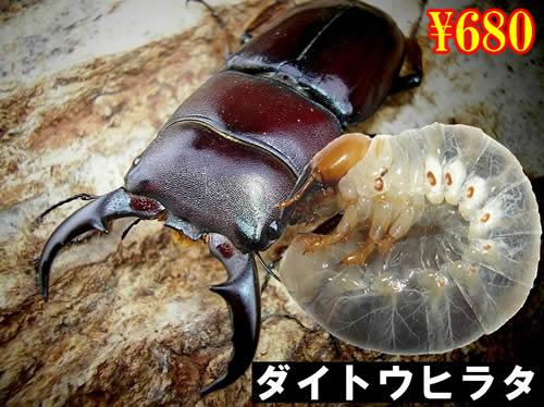 特選虫の市■離島 ダイトウヒラタ幼虫(3頭まで