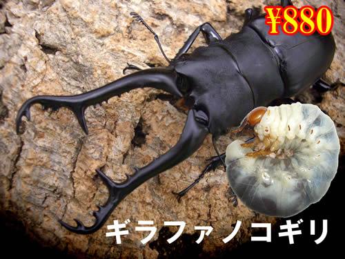 特選虫の市■ギラファノコギリ幼虫(3頭まで