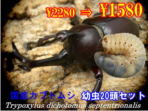 特選虫の市■国産カブトムシ幼虫20頭セット(1セットまで