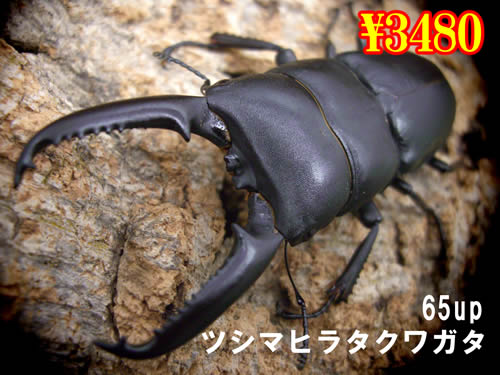 特選虫の市■離島 ツシマヒラタ65up成虫ペア(1ペアまで