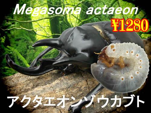 特選虫の市■アクタエオンゾウカブト幼虫(5頭まで