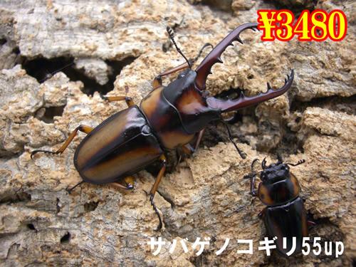 3月選抜品■サバゲノコギリ55up成虫ペア(1ペアまで