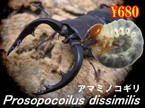 特選虫の市■離島 アマミノコギリ幼虫(3頭まで