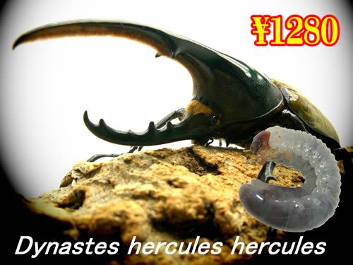 特選虫の市■ヘラクレス・ヘラクレス幼虫(3頭まで