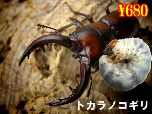 3月選抜品■離島 トカラノコギリ幼虫(3頭まで