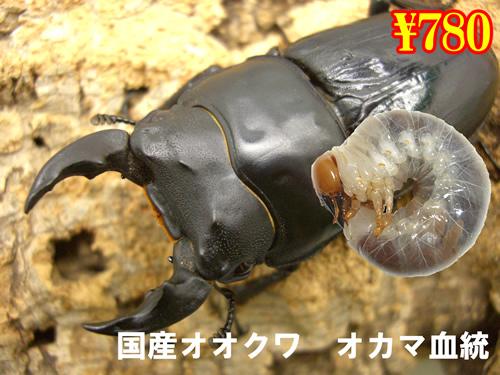 8月選抜品■国産オオクワ オカマ血統幼虫(5頭まで