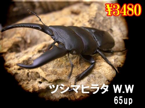 特選虫の市■離島ツシマヒラタ【ホワイトアイ】65up成虫ペア
