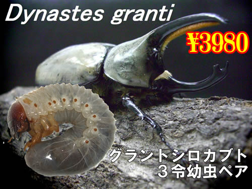 12月選抜品■グラントシロカブト3令幼虫ペア(1ペアまで