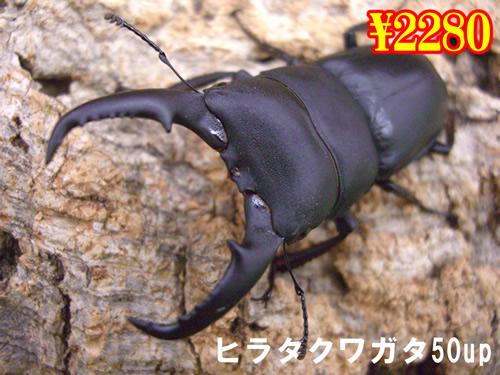特選虫の市■本土ヒラタ50up成虫ペア(1ペアまで