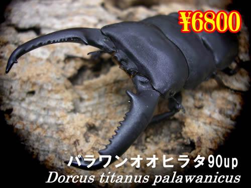 3月選抜品■パラワンオオヒラタ90up成虫ペア(1ペアまで