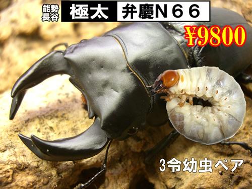 特選虫の市■SUPER個体【弁慶N66】3令幼虫ペア(1ペア