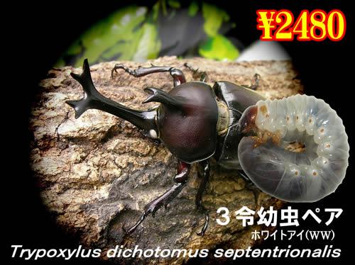 11月選抜品■国産カブトホワイトアイ3令幼虫ペア(1ペアまで