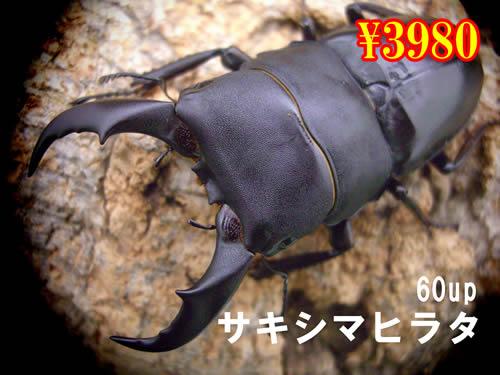 1月選抜品■離島 サキシマヒラタ60up成虫ペア(1ペアまで