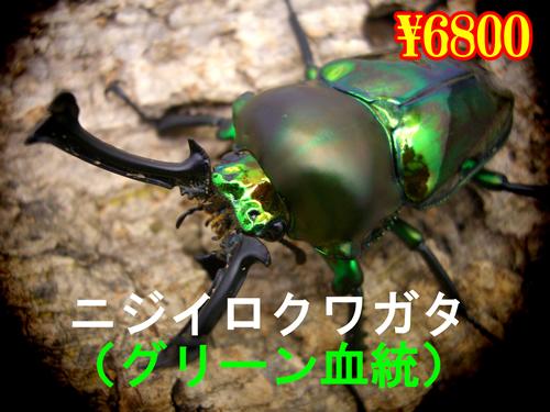 2月選抜品■ニジイロクワガタ グリーン血統成虫ペア(1ペアまで