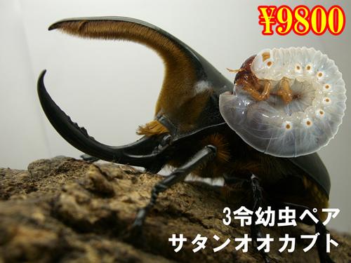 特選虫の市■サタンオオカブト3令幼虫ペア(1ペアまで