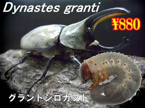 特選虫の市■グラントシロカブト幼虫(3頭まで)