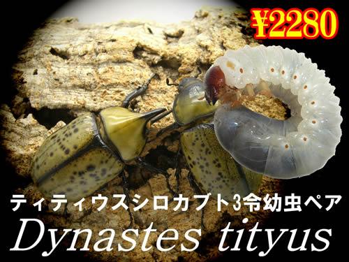 特選虫の市■ティティウスシロカブト3令幼虫ペア(1ペアまで
