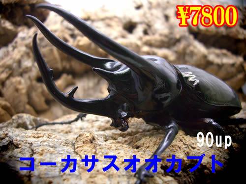 特選虫の市■コーカサスオオカブト90up成虫ペア(2ペアまで