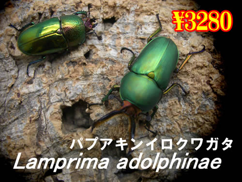 11月選抜品■パプアキンイロクワガタ成虫ペア(1ペアまで