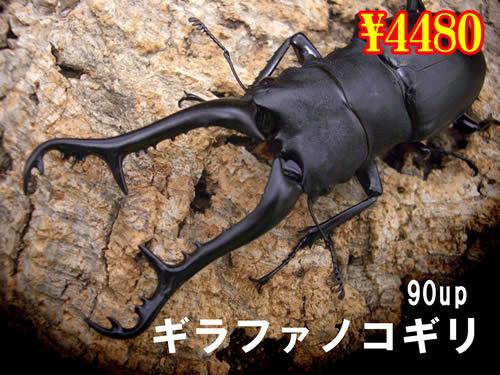 特選虫の市■ギラファノコギリ90up成虫ペア(1ペアまで