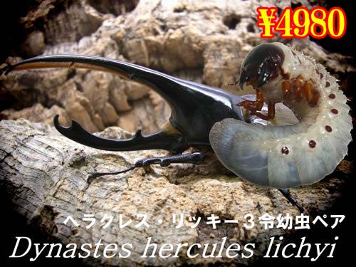 特選虫の市■ヘラクレス・リッキー3令幼虫ペア(1ペアまで
